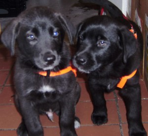 The new two black dogs